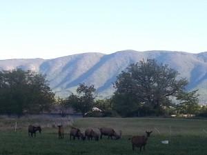Chèvres en Provence