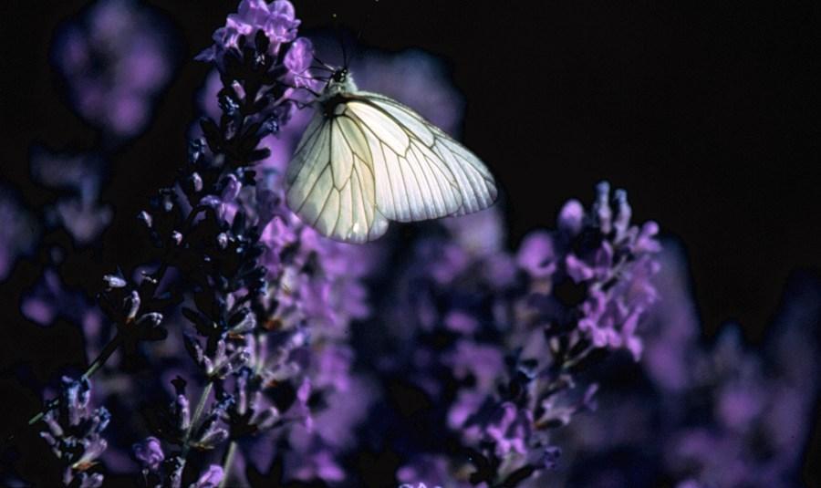 Lavande papillon modif